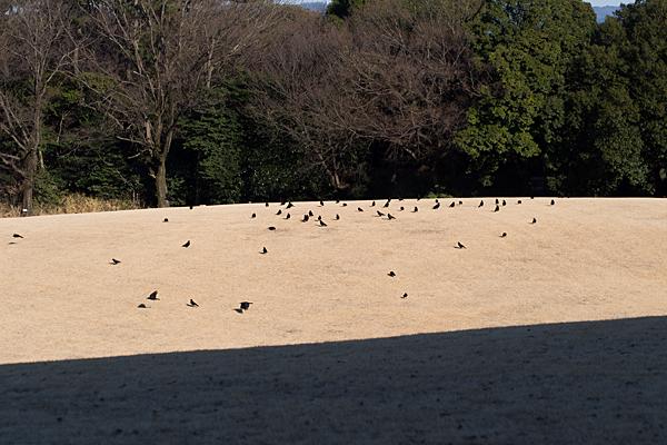 冬の芝生広場とカラス