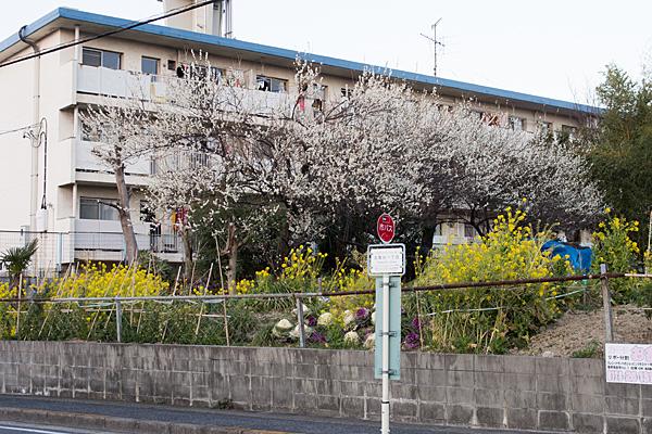梅と菜の花とバス停