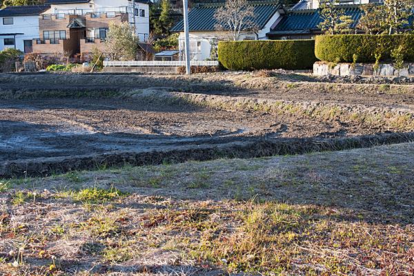 ハス畑の冬