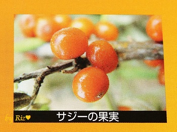 サジー(沙棘)の果実