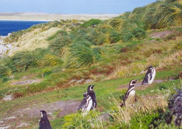ジプシー入り江 (Gypsy Cove) に生息するペンギン
