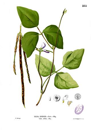 ササゲ(大角豆)