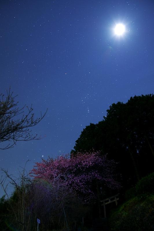 月夜の河津桜
