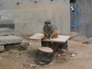 岡崎東公園動物園ミーアキャット