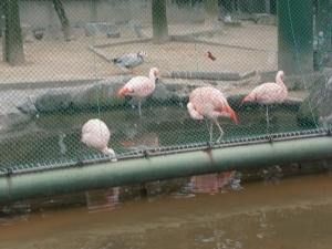 岡崎東公園動物園フラミンゴ