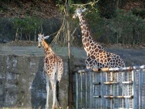 東山動物園コアラ10