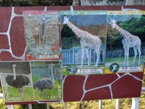 東山動物園コアラ11