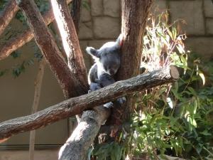 東山動物園コアラ21