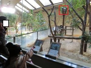 東山動物園コアラ20