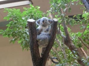 東山動物園コアラ22