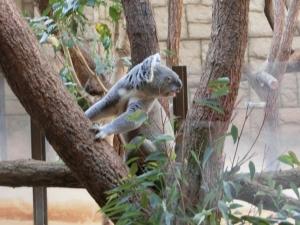 東山動物園コアラ24