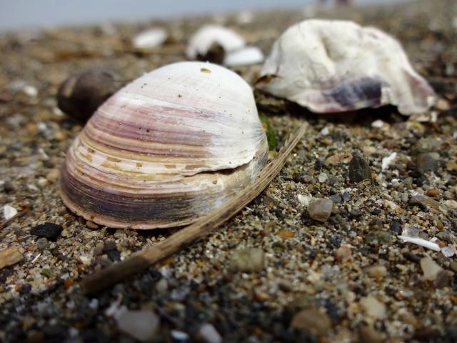 貝にある「舌のような物体」は、一体何?