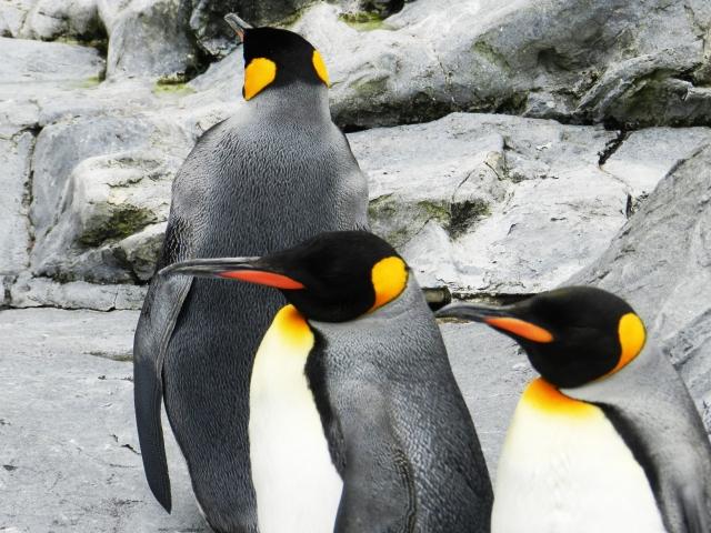 最も父性愛の強い動物は、コウテイペンギン?