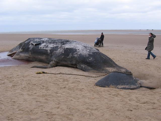 クジラの胃袋から救出された男がいた?