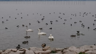 草津の琵琶湖岸の水鳥