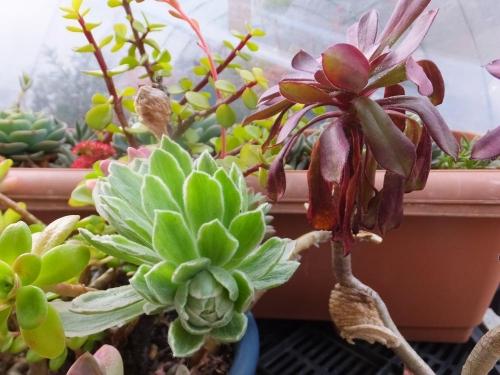 アエオニウム・ゴーチアエ斑入り(富士の白雪)が花芽になり始めました♪2016.02.07