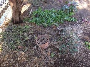 庭木の幹の軒下~アプテニア、プレクトランサス、デロスペルマ、凍結葉被害ほぼありません(^◇^)2016.02.26