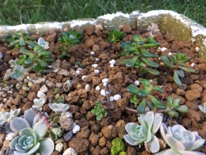セダム・オレガナム(Sedum oreganumu)下部に脇芽ができているので摘芯ついでに挿し木して様子を見ます♪2015.10.25