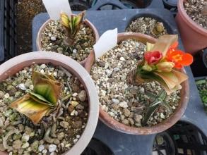 凍結被害に葉が白化て痛んだ君子蘭、一株だけ花が咲いています。2016.03.11