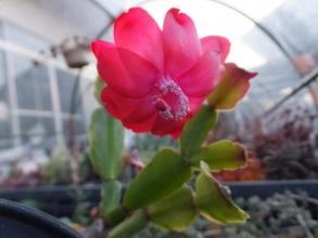 斑入り蟹葉サボテンが屋外ビニールハウスで開花中♪2016.02.25