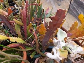 孔雀サボテンも葉焼けみたいに紅葉中♪花芽ができ始めています\(^o^)/2016.03,05