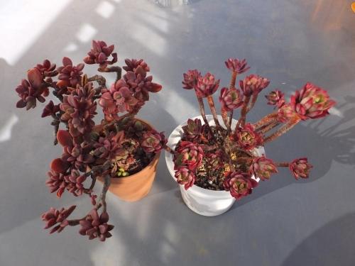 多肉植物の紅葉♪パキベリア・・レズリー&エケベリア・ミニベルの木\(^o^)/2016.02.13