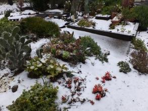 多肉地植えコーナーは油断していた初雪に雪景色(ToT)/~~~2016.02.25