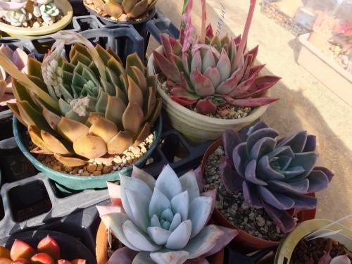 色とりどりのエケベリア♪ミラ、アガボイデス、メキシカンジャイアント、ブループリンス2016.02.10