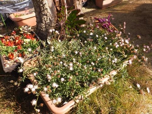 セネシオ・ペレグリヌス花盛り~♪屋外軒下でまだまだ茂り中♪2016.01.24
