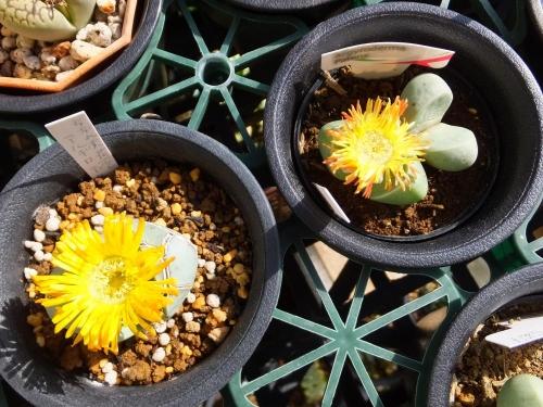 アルギロデルマ・パテンス~今度は黄花が咲きました♪2015.11.16