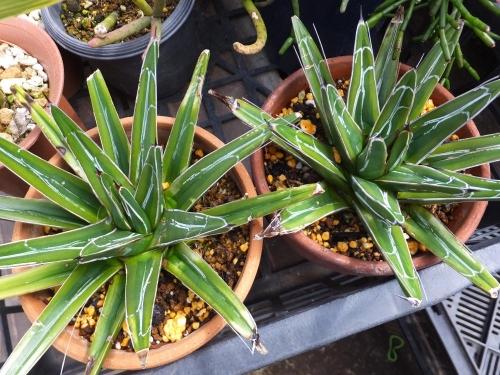 アガベ・笹の雪錦・黄覆輪笹の雪(Agabe victoriae-reginae f.variegata)2016.03.08