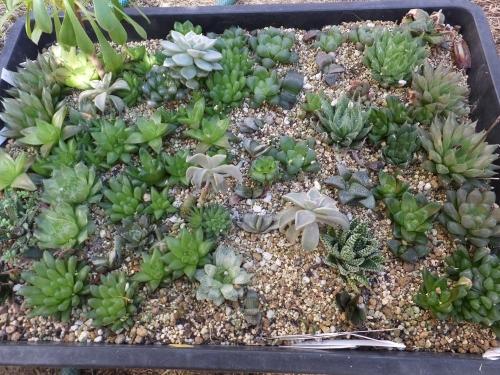 ハオルチア・冬の星座(Haworthia pumila