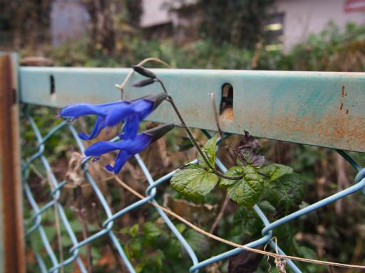 20151227・散歩植物02・ブルーサルビア