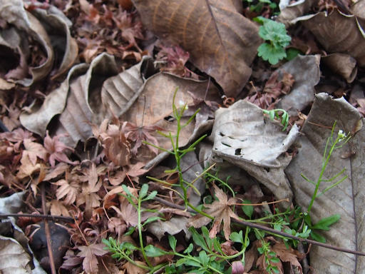 20151227・散歩植物10・タネツケバナ
